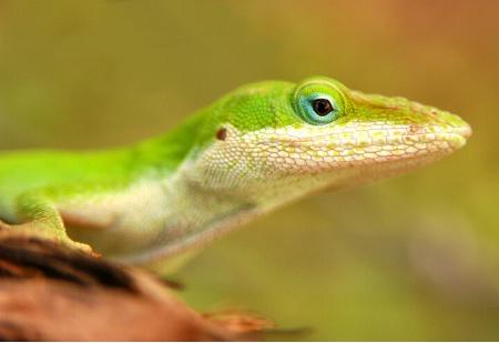 Lime Lizard