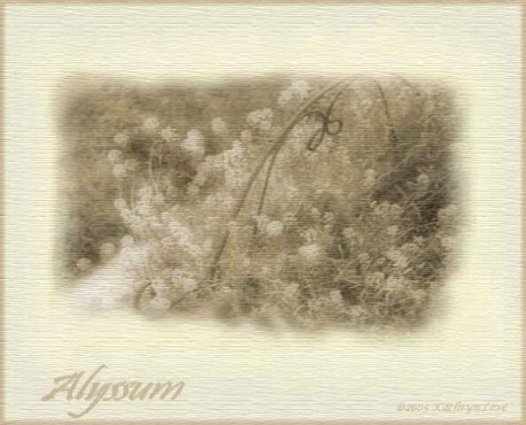 ~  Alyssum  ~