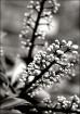 Schefflera Bloom