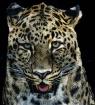 Leopard smile