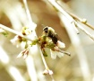 Bee on a Weeping ...