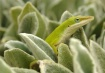 Lizard On the Loo...
