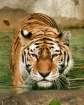 Tigeriffic