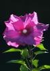 Pink Flower #23