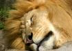 Lion Dreams