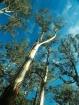 Giant EucalyptusT...