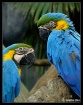 Pair of Blue Gold...
