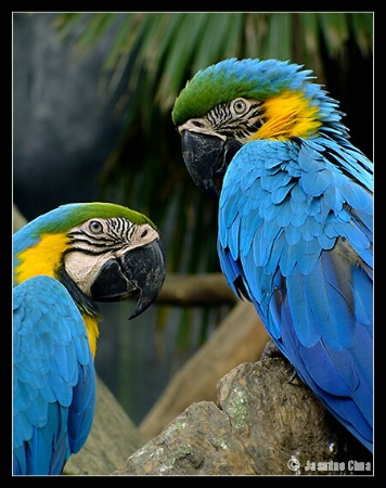 Pair of Blue Gold Macaw
