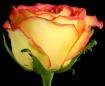 A  Beautiful Rose