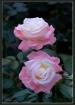 Test Rose 03R205