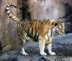 Tiger Prance