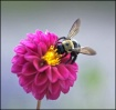 Bee on Pink