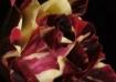 Tea Rose Painting