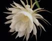 Epiphyllum - One ...