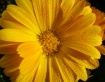 Dew Yellow