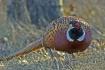 Ring-necked Pheas...