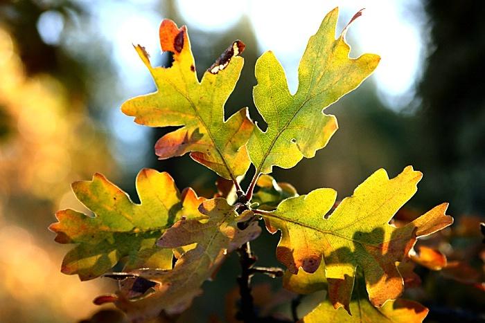 Golden Leaves, Oak Leaf Cluster