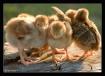 Chicken Little an...