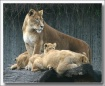 LION FAMILY II