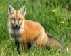 Sly as a fox