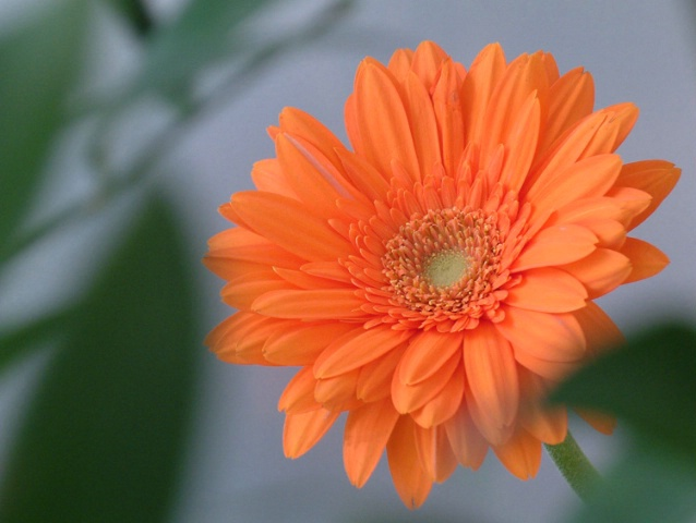 Orange daisy through foliage