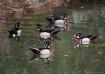 Wood Duck Bachelo...