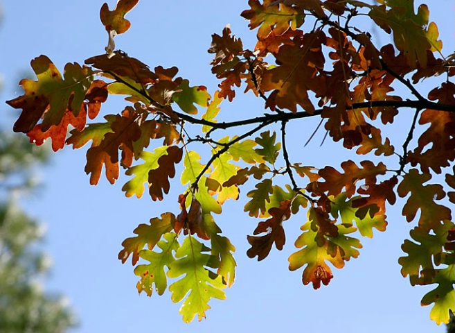 Colored Oak Tree Branch