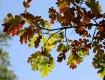 Colored Oak Tree ...