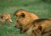 Lions-Tanzania