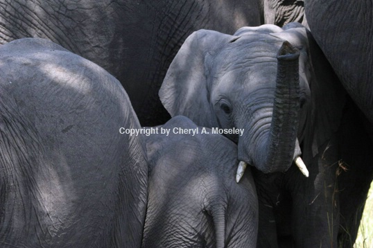 Baby Elephant Reaching Out 7482 - ID: 916075 © Cheryl  A. Moseley