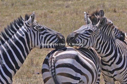 Zebras Kissing 6717 - ID: 916167 © Cheryl  A. Moseley