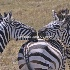 © Cheryl  A. Moseley PhotoID# 916167: Zebras Kissing 6717