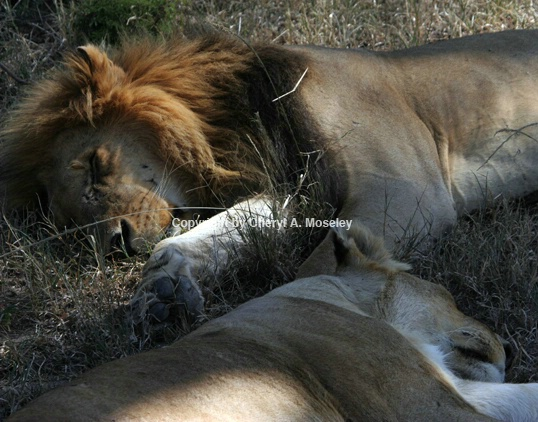 Lion Couple Lying Together - ID: 917634 © Cheryl  A. Moseley
