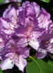Rhododendron Bloo...
