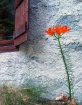 Red lilium