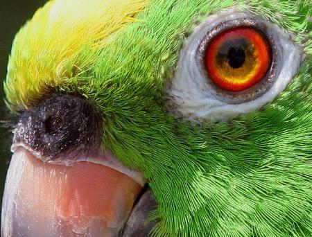Yellow Crown Amazon Parrot
