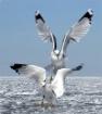 Gulls Coming In F...