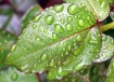 Water Droplets on...