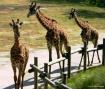 Giraffe's On ...