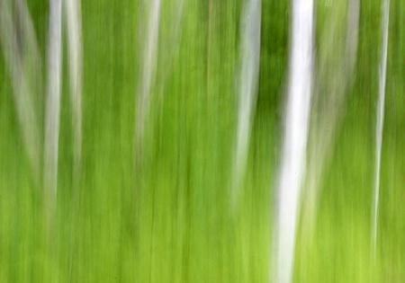 Whte Birches 2