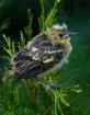 Goldfinch Fledgli...