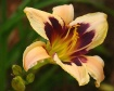 Passion Lily