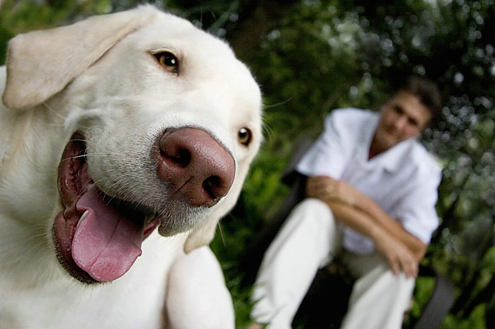 White Lab with Owner in Background - ID: 998123 © Wendy M. Amdahl