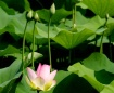 Early Lotus Bloom