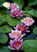 Water Lilies  ~  ...