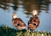 Preening Ducks