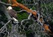 Eagle in Arbutus ...