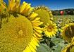 Sunflowers Fields...