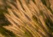Fountain Grass at...