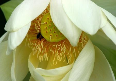 pollenesia ...